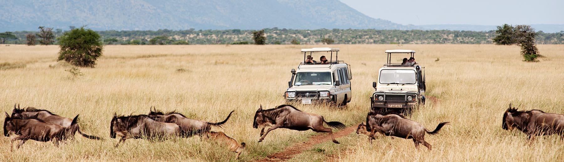 Gnuer fotografert på safari i Afrika